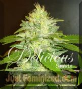 Delicious La Musa female seeds available ganja buy online